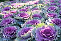 Kwiatonośna kapusta Obrazy Stock
