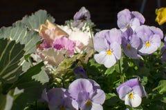 Kwiatonośna kapusta i pansy Fotografia Stock