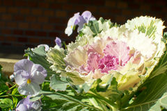 Kwiatonośna kapusta i pansy Obraz Stock