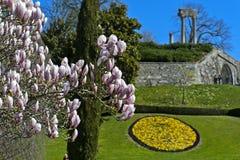 Kwiatonośna magnolia w parku Zdjęcie Royalty Free