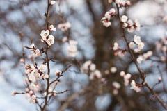 Kwiatonośna morela Fotografia Stock