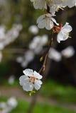 Kwiatonośna morela na zamazanym naturalnym tle Wiosna w g Fotografia Stock