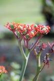 Kwiatonośna owoc Obraz Stock