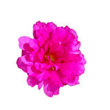 Kwiatonośna portulaka, Pussley Obraz Royalty Free