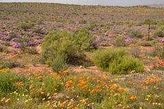 Kwiatonośna pustynia Zdjęcia Royalty Free