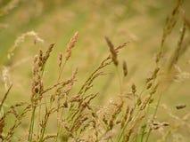 Kwiatonośna traw halms ina preria, poaceae Obrazy Royalty Free