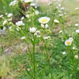 kwiatonośna trawa Obraz Stock