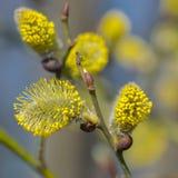 Kwiatono?na wierzba kapuje na jaskrawym pogodnym wiosna dniu obraz royalty free