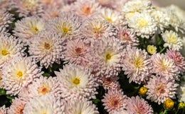 Kwiatonośne chryzantemy Obrazy Royalty Free