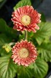Kwiatonośne czerwone Gerbera stokrotki Obrazy Stock