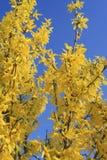 Kwiatonośne forsycje na niebieskiego nieba tle Obraz Stock