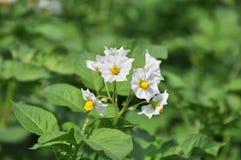 kwiatonośne grule Zdjęcie Royalty Free