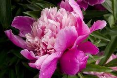 Kwiatonośne peonie Obrazy Royalty Free