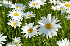 Kwiatonośne stokrotki Obraz Royalty Free