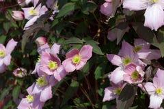 Kwiatonośni Clematis kwiaty Fotografia Royalty Free