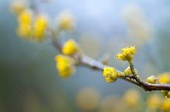 Kwiatonośni derenie w deszczu Fotografia Stock