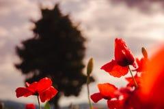 Kwiatonośni maczki I drzewo Zdjęcia Stock