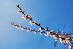 Kwiatonośni morelowi wiosna kwiaty Fotografia Royalty Free