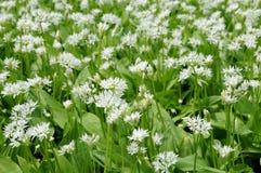 Kwiatonośni ramsons Zdjęcia Stock