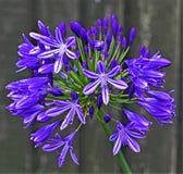 Kwiatonośny agapantu kwiat w Doncaster, South Yorkshire Zdjęcia Stock