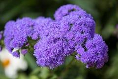 Kwiatonośny ageratum w ogródzie Zdjęcia Royalty Free