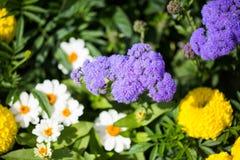 Kwiatonośny ageratum w ogródzie Obrazy Stock