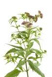 kwiatonośny agrimony konopie Obraz Stock