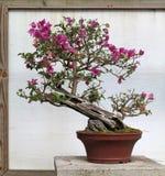 Kwiatonośny bonsai drzewo Zdjęcie Stock