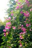 Kwiatonośny bougainvillea Obrazy Royalty Free