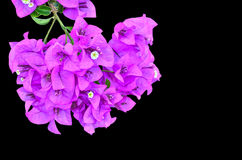 Kwiatonośny bougainvillea Zdjęcia Stock