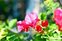Kwiatonośny bougainvillea Fotografia Royalty Free