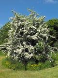 Kwiatonośny Buckthorn krzak w lecie Obrazy Stock