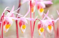 Kwiatonośny Czarodziejski Pantoflowy Calypso bulbosa Obraz Royalty Free
