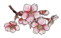 Kwiatonośny czereśniowy drzewo Sakura royalty ilustracja