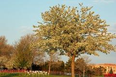 Kwiatonośny drzewo Zdjęcia Royalty Free