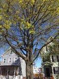 Kwiatonośny drzewo Zdjęcie Stock