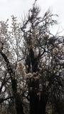 Kwiatonośny drzewo Zdjęcia Stock