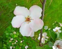 Kwiatonośny drzewo Obrazy Royalty Free