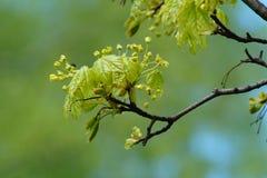 Kwiatonośny drzewo, Ahorn Zdjęcia Royalty Free