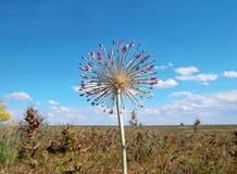 Kwiatonośny dziki czosnek Zdjęcie Royalty Free