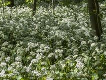 Kwiatonośny dziki czosnek Zdjęcie Stock