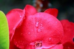 Kwiatonośny euforbii milii Zdjęcie Stock