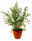 kwiatonośny granatowiec obraz royalty free
