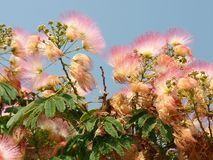 Kwiatonośny jedwabniczy drzewo Obrazy Stock