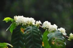Kwiatonośny kawowy drzewo zdjęcia royalty free