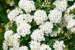 Kwiatonośny krzak Fotografia Stock