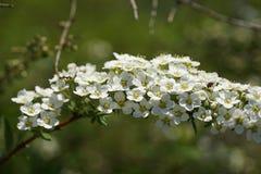 Kwiatonośny krzak Obraz Royalty Free