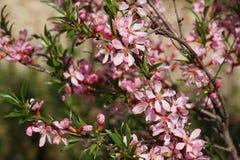 Kwiatonośny krzak Zdjęcie Royalty Free
