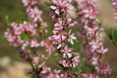 Kwiatonośny krzak Zdjęcia Stock