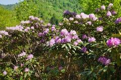 Kwiatonośny krzak w górach przeciw niebieskiemu niebu Gruzja Obrazy Royalty Free